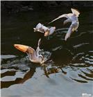 红嘴鸥争食之一 Gull clashing 1
